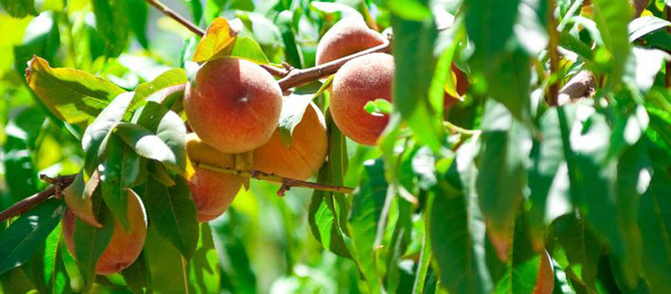 U-Pick Fresh Organic Peaches $2/lb