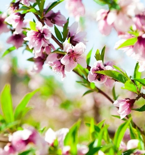 Peach-Blossoms-@-Schnepf-Farms-938x535
